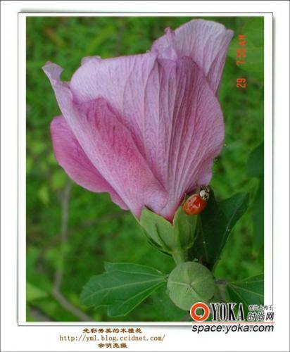 马来西亚的国花也是木槿花(又称大红花)bunga