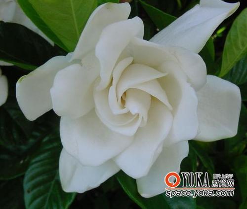 栀子花开so beautiful so white这是个季节我们将离开难舍得