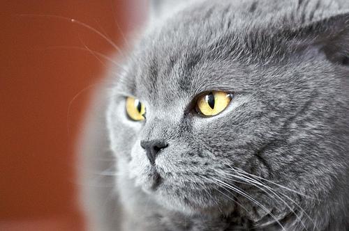 壁纸 动物 猫 猫咪 小猫 桌面 500_332
