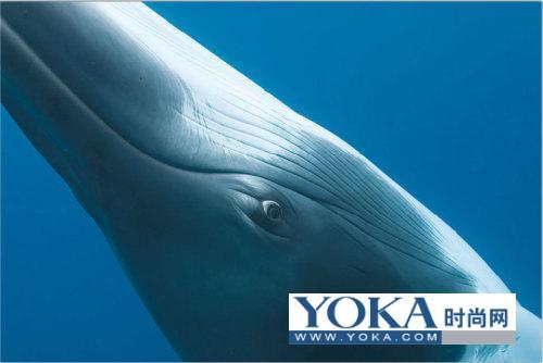 蓝鲸有多大_蓝鲸头像_蓝鲸插画_手绘蓝鲸