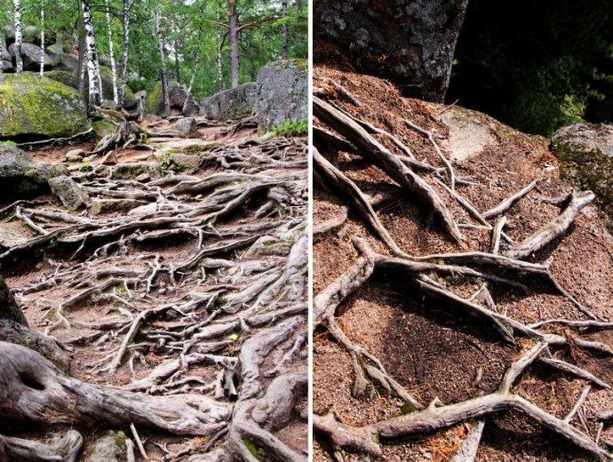 地上的老树根盘错着枝节
